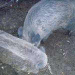 wildschweine (c) www.waldsee-tueren.de