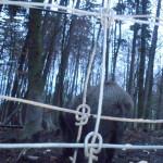 wildschweine hinter gittern (c) www.waldsee-tueren.de