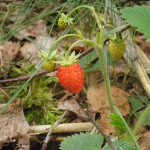 erdbeere im moor wurzacher ried