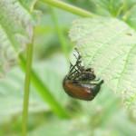 juni käfer bei der paarung