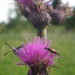 käfer an blumen im wurzacher ried
