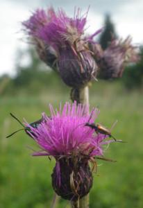 käfer-an-blumen-im-wurzacher-ried