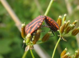 käfer-bei-der-paarung