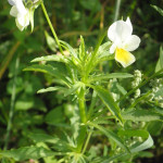 seltene Pflanze im wurzacher ried
