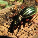 käfer im altdorfer wald