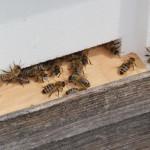 Bienenzucht des Pfrunger-Burgweiler Ried Wilhelmsdorf
