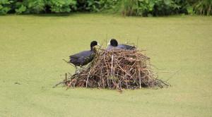 Nest eines Blesshuhns Pfrunger-Burgweiler Ried Wilhelmsdorf