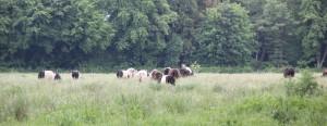 Rinder auf Weide Pfrunger-Burgweiler Ried