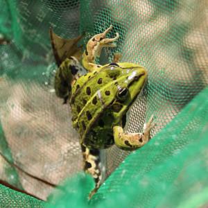 frosch im ried des federsees bad buchau