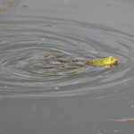 frosch im wasser federsee bad buchau