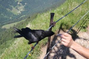 Bergdohle-beim-Füttern-Hochgrat
