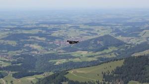 Bergdohle im Flug Hochgrat