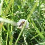 Biene am Klee im Steinacher Ried