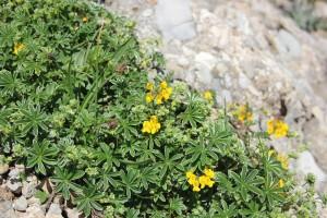 Blumen auf dem Hochgrat