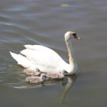 Schwan und Nachwuchs auf dem Federsee Bad Buchau