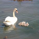 Schwan und Nachwuchs im Federsee Bad Buchau