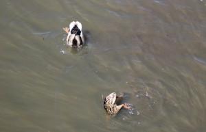 Stockenten beim Tauchen auf dem Federsee Bad Buchau
