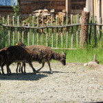 Tiere im Gehege des Museums Bad Buchau