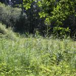 Schilff beim Kiebelesweiher Baindter Wald