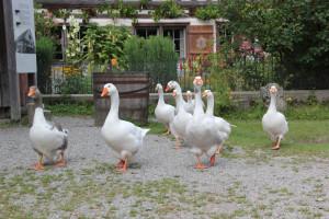 Gänse Bauernhaus Museum Wolfegg