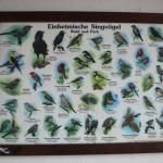 Singvögel-Schaubild