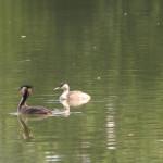 Haubentaucher-Ente-Schloßsee-Bad-Waldsee