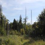 Tote Bäume Naturschutzgebiet Brunnenholzried