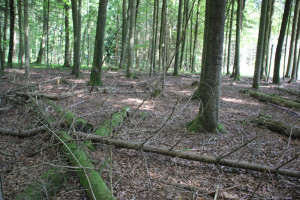 Tote-Bäume-im-Brunnenholzried-