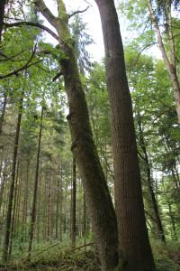 Zwillingsbaum Altdorfer Wald