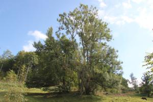 28-Baum-Höll-Oberschwaben