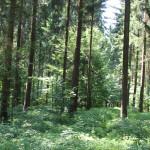 Grabhügel-im-Wald-Vierecksschanze-Aßmannshardt