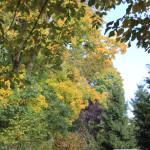 Herbstbäume-Ummendorfer-Ried