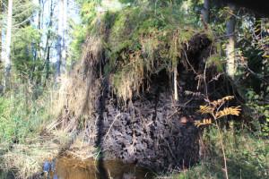 Wurzeln-umgestürzter-Baum