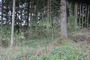 Heutige Wald Buchkapf