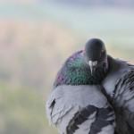 Taube auf dem Hohenbodman