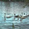 Schwaene auf dem Stadtsee Bad Waldsee