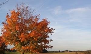 herbstbaum in oberschwaben