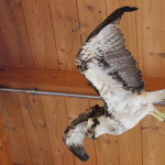 Ausgestopfter Vogel Naturschutzzentrum Eriskirch