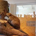 Biber im Naturschutzzentrum Eriskirch