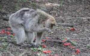 Affe im Wald Affenberg Salem