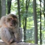 Affe vom Affenberg Salem