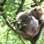 Berberaffe im Baum