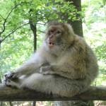 Gaehnender Affe Affenberg Salem