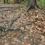Wurzeln auf Wegen Heiligenberg Wald