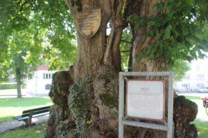 Sommerlinde Ergat Reichenau
