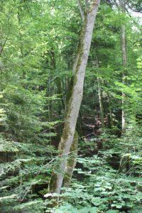 Baum vor Abrund Schmalegger und Rinkenburger Tobel
