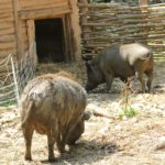 Schwein Stall