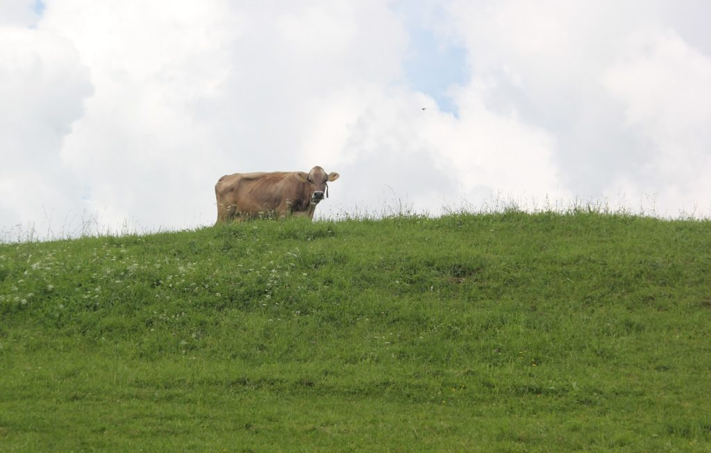Kuh-auf-Weide